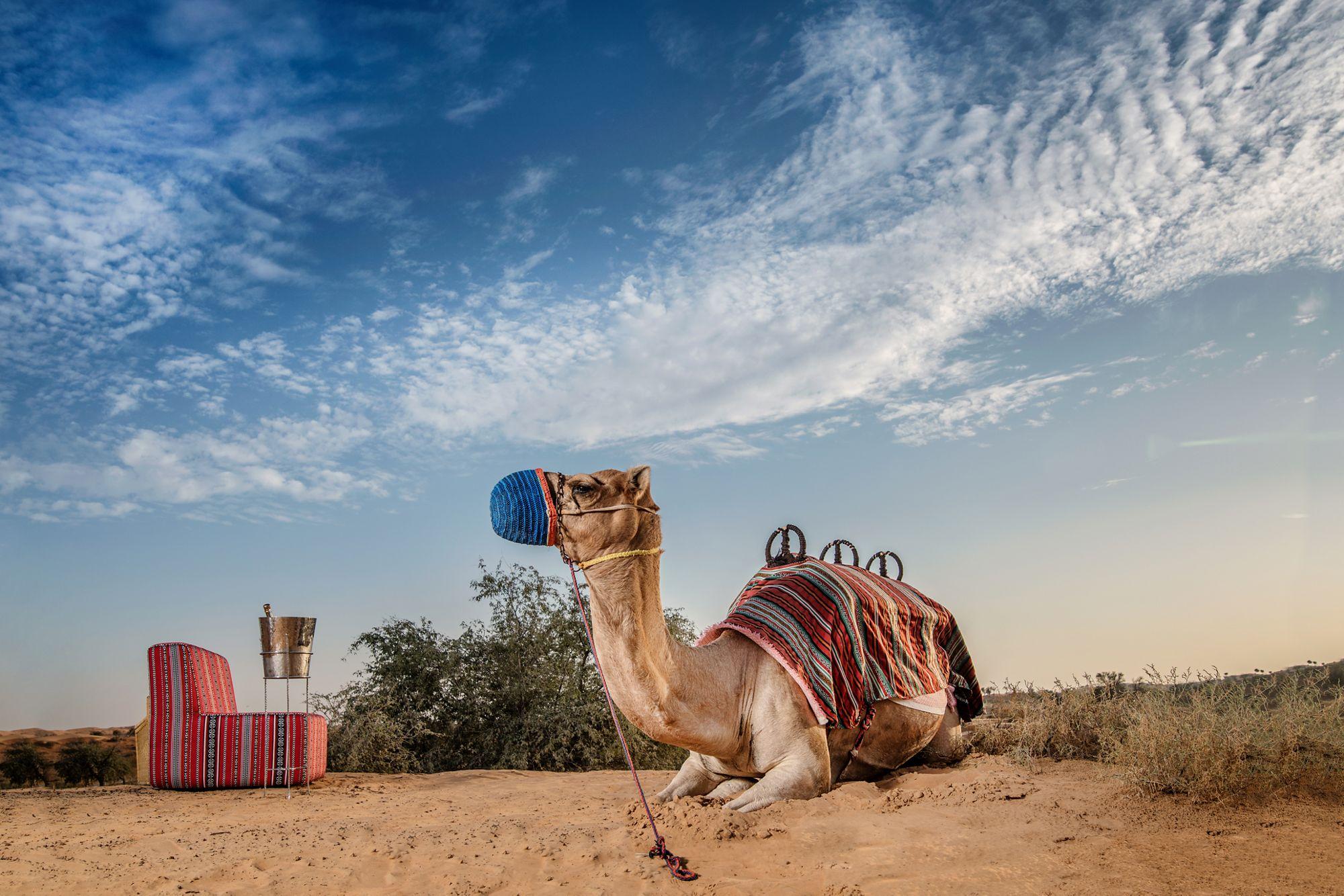 Ras Al Khaimah Camel